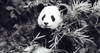 detail of black-and-white photo of a panda