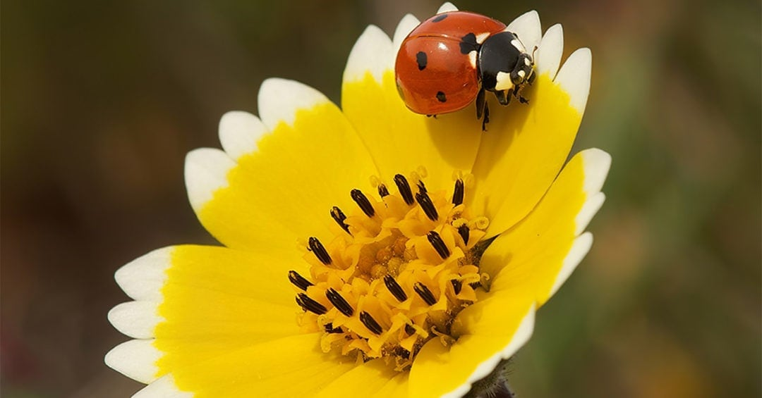 Tidy Tip Ladybug photo by Judy Kramer, 2013