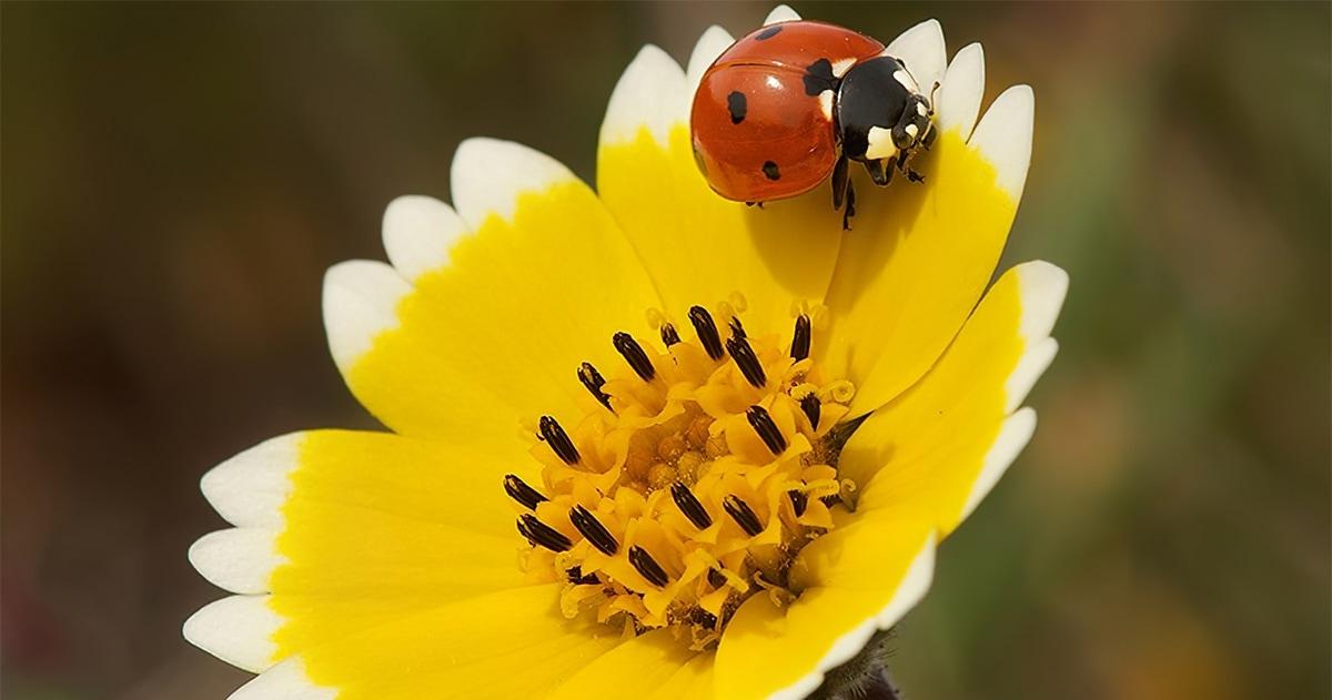Tidy Tip Ladybug photo by Judy Kramer, 2013