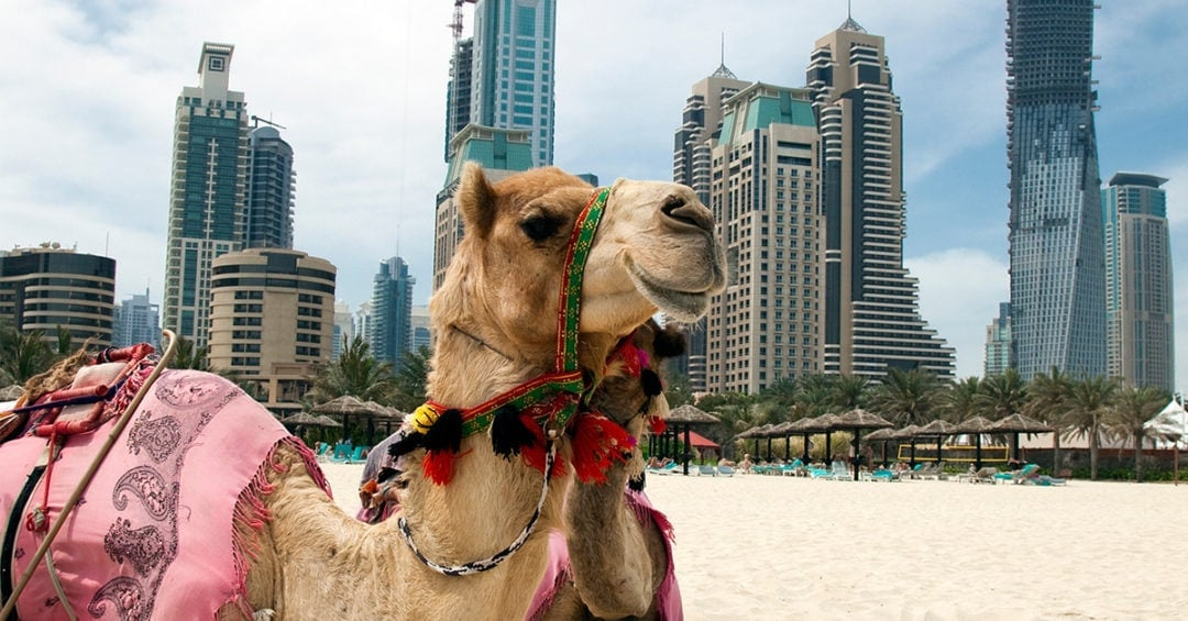 camel in foreground with skyscrapers in background