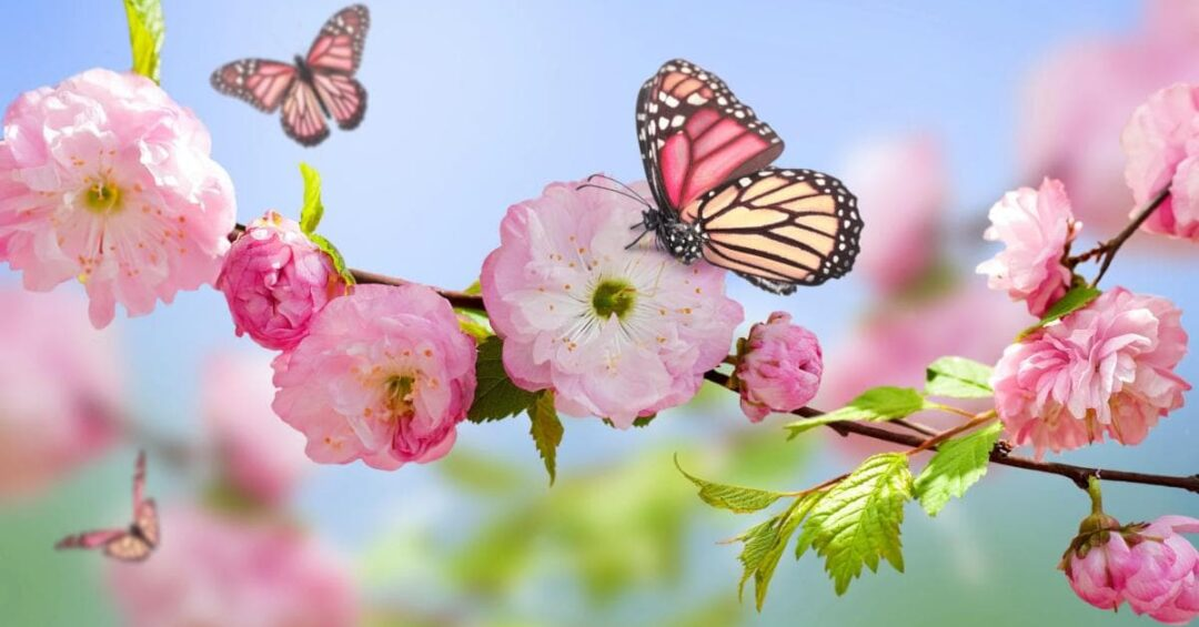 monarch butterflies on pink cherry blossoms in the sunshine