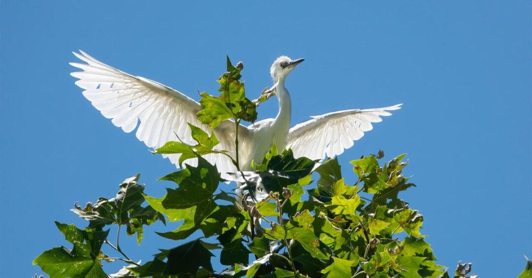 white egret landing on a green tree against a blue sky